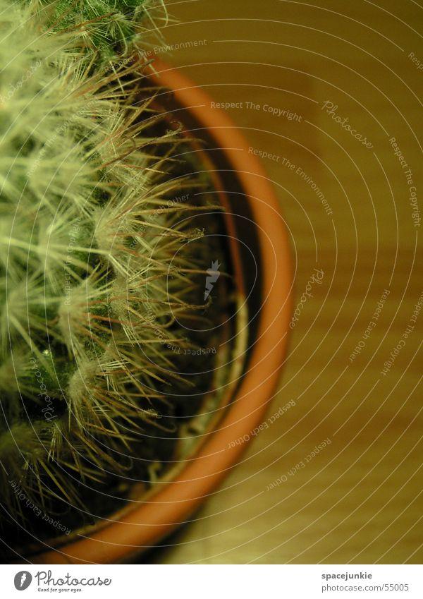 Kaktus (2) grün stachelig Zimmerpflanze Schmerz Stachel weiße stacheln