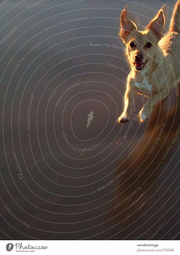 rubia Tier springen Bewegung Hund Dynamik Erwartung Am Rand kommen Haarschnitt