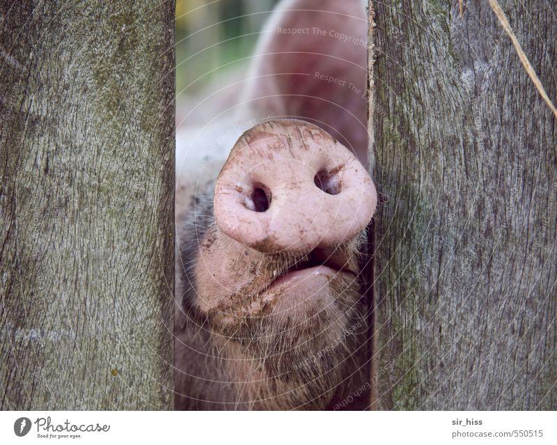 Rosa Steckdose Tier kalt grau rosa dreckig trist warten Armut nass beobachten weich berühren Appetit & Hunger Tiergesicht Duft trashig