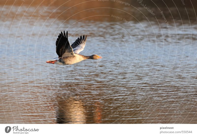 Graugans im Flug Tier Wasser Sonnenlicht Teich See Vogel 1 fliegen frei Unendlichkeit blau grau rot Freiheit Gans abflug fliegend Flügel Schweben gleiten