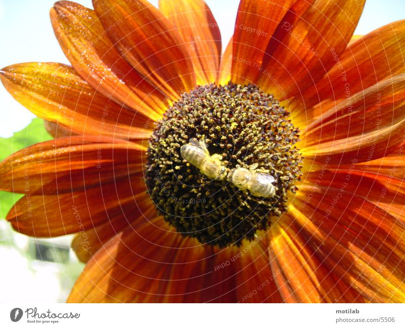 BestäubungsKuss im BlütenstaubMeer Sonnenblume Biene Pollen Sommer bestäubung