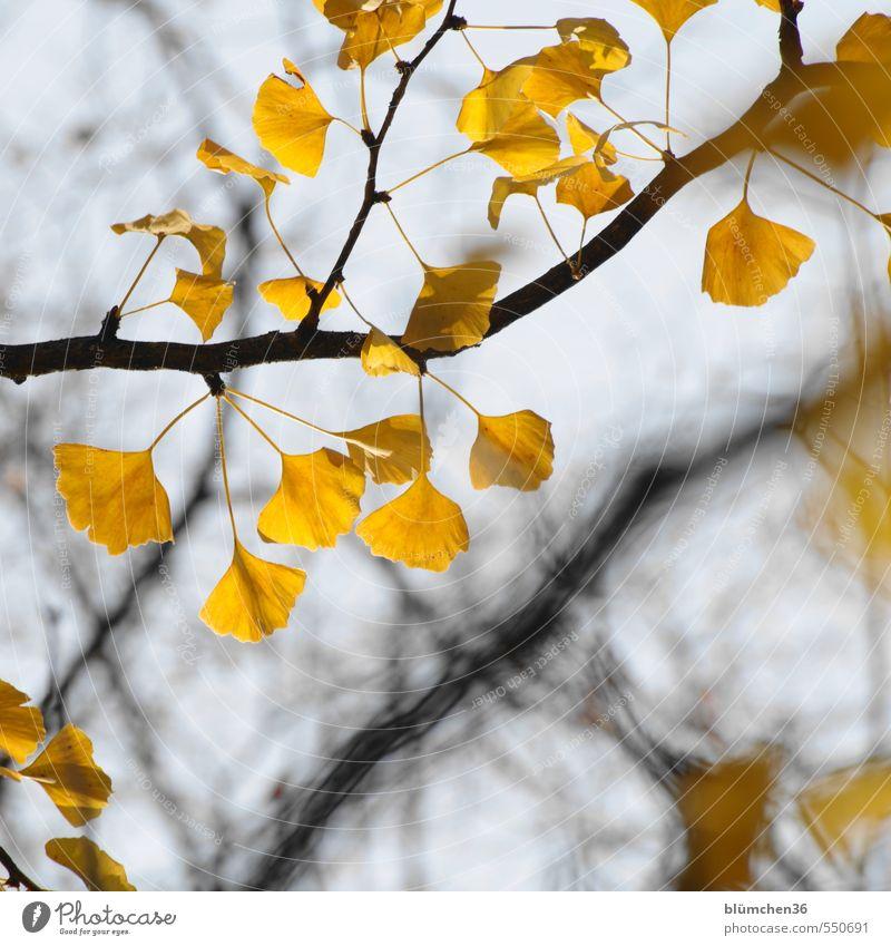 Homöopathische Gedächtnisunterstützung Natur Pflanze Herbst Baum Blatt Ginkgo Zweig Laubbaum ästhetisch außergewöhnlich exotisch natürlich gelb Wachstum