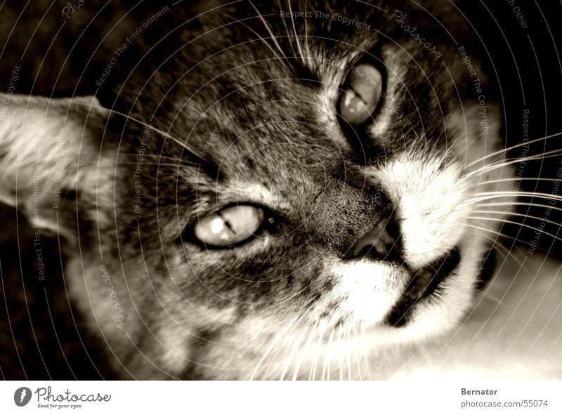 Ich sehe in Dich hinein.... Katze Katzenkopf Tier Wildnis Hauskatze Grauwert Fell Auge Katzenauge tiefer blick Blick Tigerkatze Schwarzweißfoto Außenaufnahme