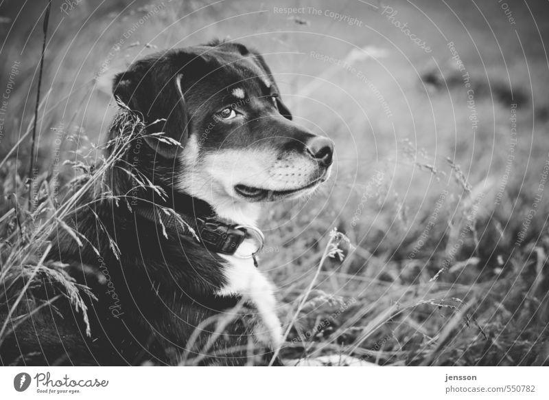 Hundeleben Natur Pflanze Gras Wiese Haustier Tiergesicht Fell 1 beobachten liegen sitzen träumen warten Sicherheit Berner Sennenhund Alm Haushund Schutz