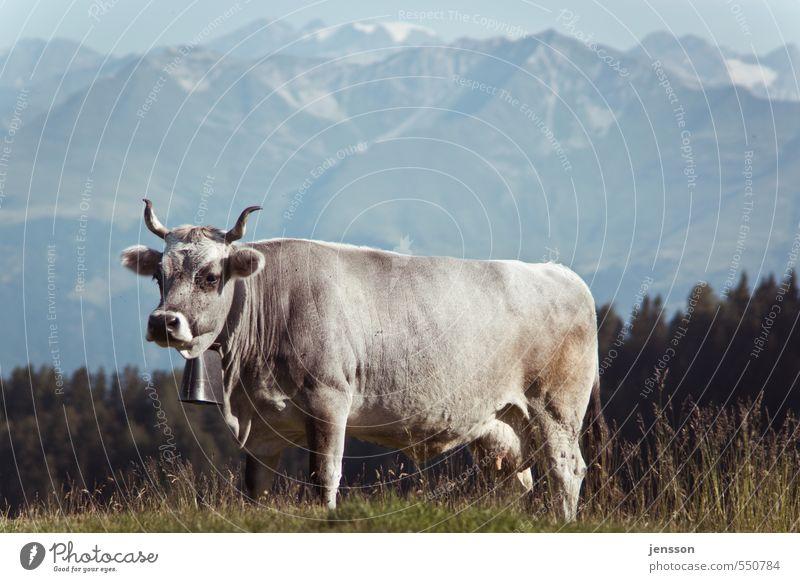 Auf dem Weg zum Lackierer Umwelt Natur Tier Gras Wiese Alpen Berge u. Gebirge Nutztier Kuh 1 stehen hell schön Alm Glocke Kuhglocke Horn Panorama (Aussicht)