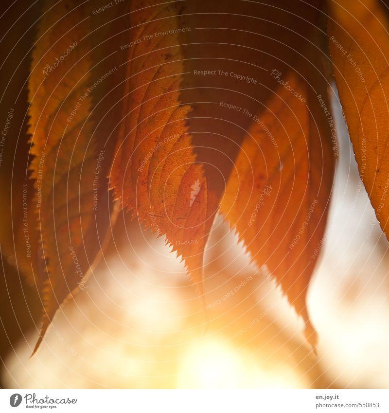 Herbstleuchten Pflanze Erholung Blatt ruhig gelb Wärme Gefühle Stimmung hell orange Klima Lebensfreude Warmherzigkeit Schönes Wetter Freundlichkeit