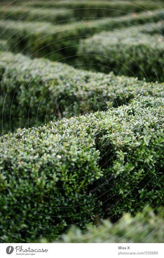 maze Freizeit & Hobby Garten Sträucher grün Labyrinth Irrgarten verirrt Täuschung Zacken Ecke Wege & Pfade Wegbiegung Wegkreuzung Hecke Buchsbaum Farbfoto