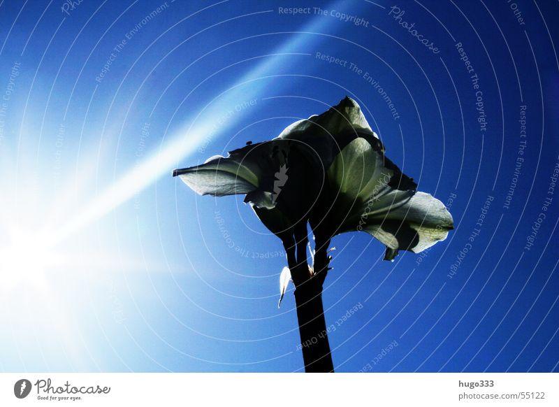 Amaryllis schön Himmel weiß Sonne Blume blau Blatt Blüte Beleuchtung Streifen Stengel