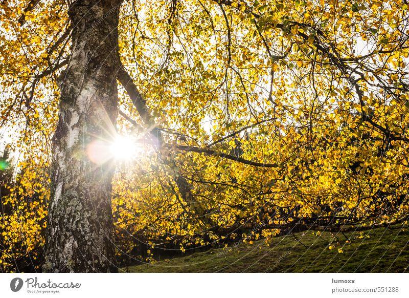 herbstlich(t) Sonnenlicht Herbst Baum Blatt Wald gelb Birke Gegenlicht Herbstlaub Herbstfärbung Herbstwald Farbfoto Außenaufnahme Tag Licht Sonnenstrahlen
