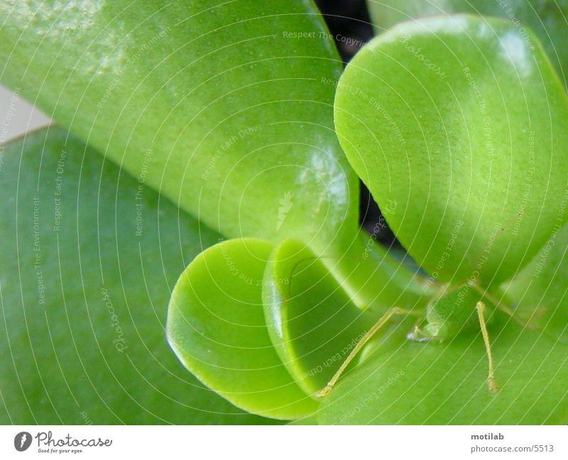 Grashuepfer im Versteck Heuschrecke grün Tarnung getarnt