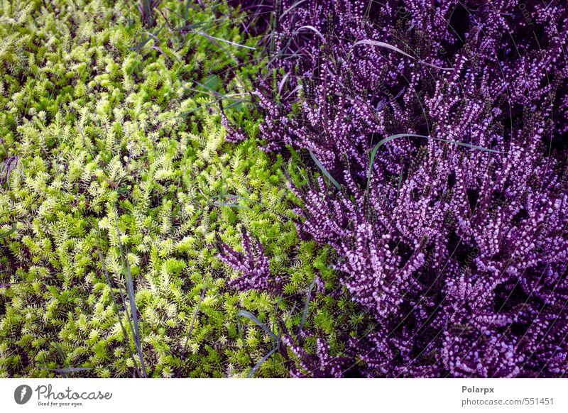 Heidekraut schön Sommer Garten Dekoration & Verzierung Natur Landschaft Pflanze Herbst Blume Gras Blüte Wiese natürlich wild grün rosa Farbe Bergheide purpur