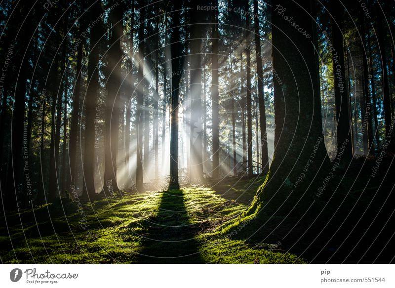 helligkeit interpolieren Umwelt Natur Sonnenlicht Herbst Schönes Wetter Nebel Baum Moos Baumstamm Moosteppich Fichte Fichtenwald Tanne Wald dunkel fantastisch