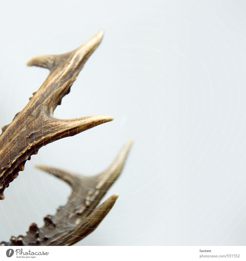 Junggeweih Jagd Natur Wald Tier Wildtier Totes Tier Reh Sammlung Sammlerstück Trophäe Horn Häusliches Leben braun grau weiß Dekoration & Verzierung Wandschmuck