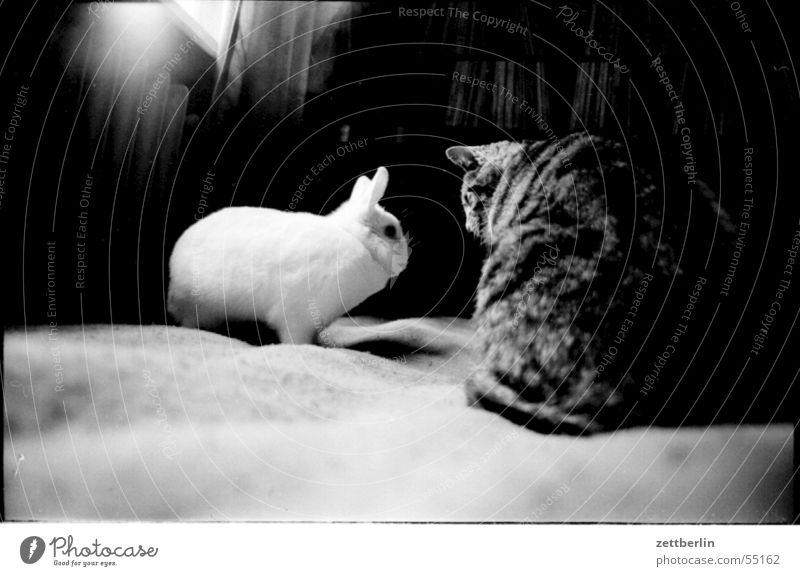 Treffen Tier Pelztier Katze Hase & Kaninchen begegnen Verständigung Blick Sitzung 2 Innenaufnahme Schwarzweißfoto Hauskatze Verabredung bilateral sprechen