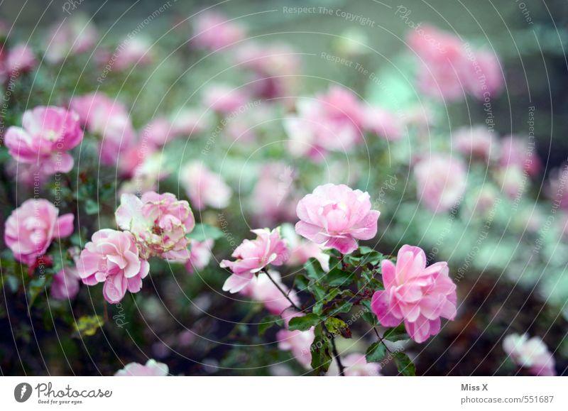 Rosen Garten Frühling Sommer Blume Blühend Duft rosa Rosenblüte Rosengewächse Farbfoto Außenaufnahme Menschenleer Textfreiraum oben Schwache Tiefenschärfe