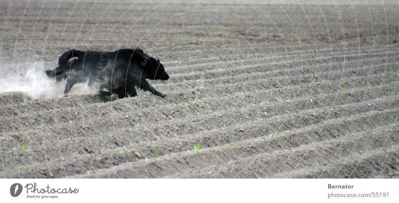 Wettrennen... Hund schwarz Spielen Feld laufen Geschwindigkeit rennen Sportveranstaltung Kartoffelacker