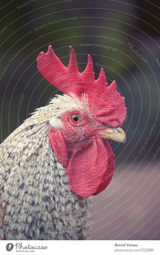 Le Coq Hahn braun grau grün rot schwarz weiß Landleben gefangen Profil Schnabel Strukturen & Formen Tierhaut Feder Muster Bauernhof Landwirtschaft Tierhaltung