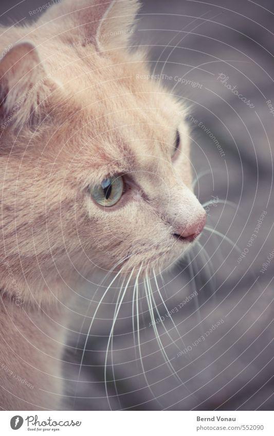Pass bloß auf! Dorf Wege & Pfade Pflasterweg Pflastersteine Katze Tiergesicht braun gold grau schwarz weiß Konzentration Blick fokussieren Schnurrhaar Ohr Fell