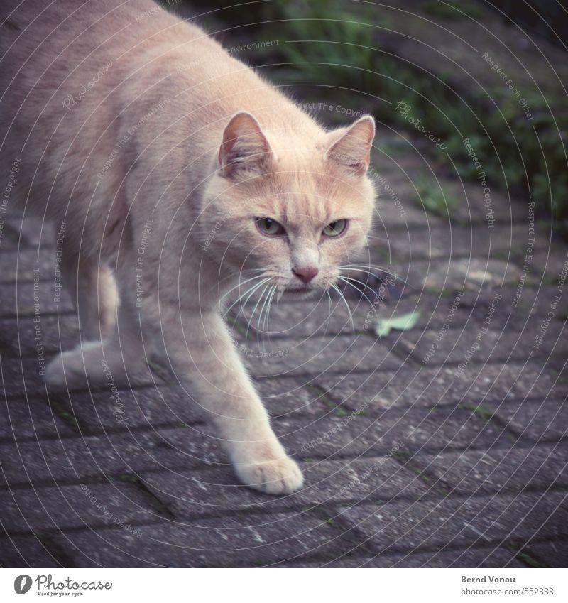 Katze, schräg von links Dorf Fußweg Pflasterweg Pflastersteine 1 Tier braun gold grau schwarz Spannung Konzentration beobachten schleichen schleichend Pfote