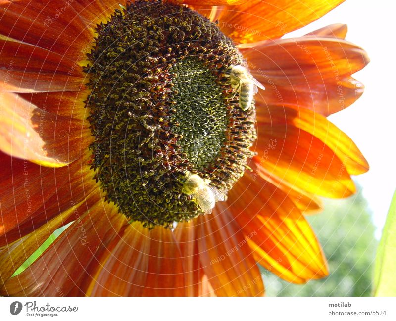 fleissige Sammler Sonne rot Sommer Biene Sonnenblume Sammlung Pollen Honig Sammler