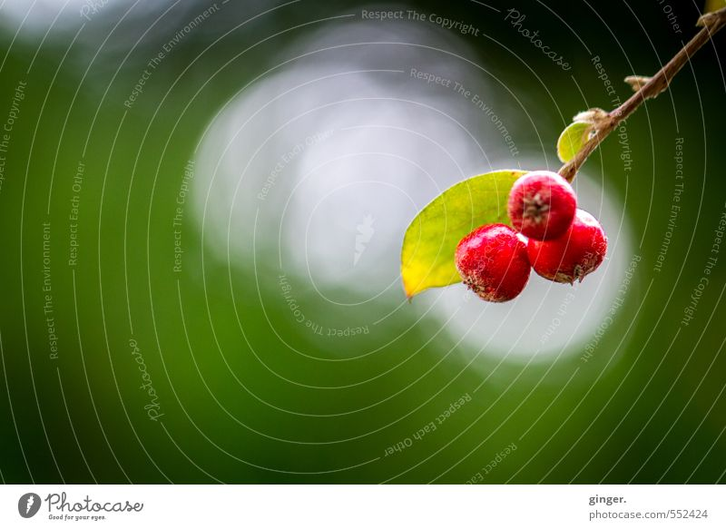 Rote Bommeln Umwelt Natur Pflanze Herbst Schönes Wetter Sträucher grün rot Bokeh Windung Frucht Beerensträucher Zweig 3 hell und dunkel Fruchtstand hängen klein