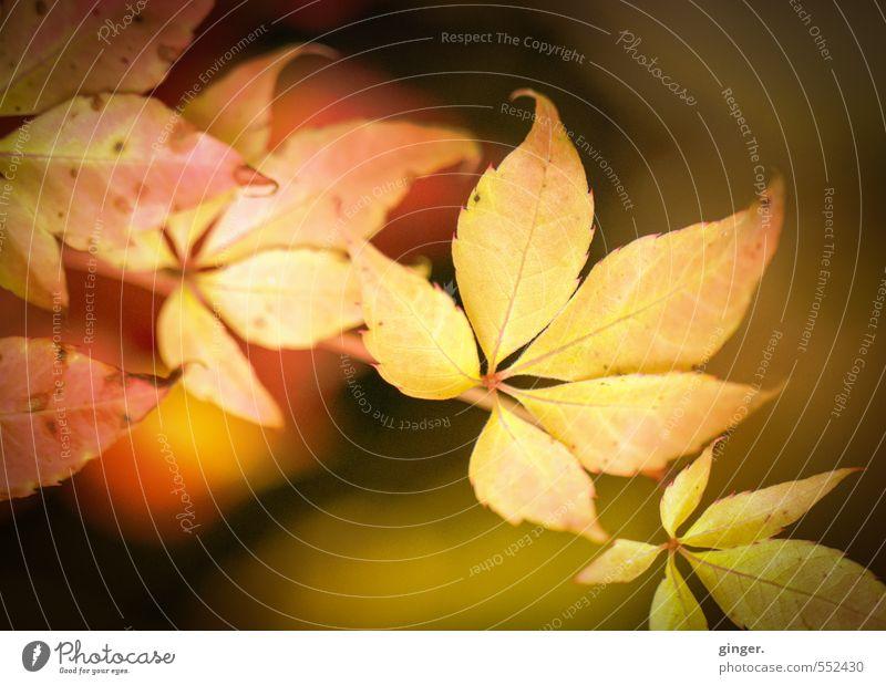 Happy Birthday, Photocase! | Herbstsonne an Blatt Natur Pflanze Wetter Schönes Wetter Wärme Sträucher Freundlichkeit nah natürlich braun gelb gold rot leuchten