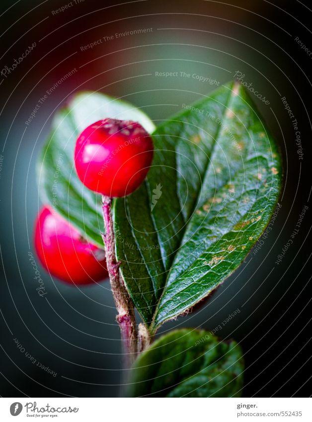 Herbstbild zum Winteranfang Natur grün Pflanze rot Blatt Umwelt Herbst Frucht Sträucher Wachstum Schönes Wetter Wachsamkeit Duft ködern saftig vertikal