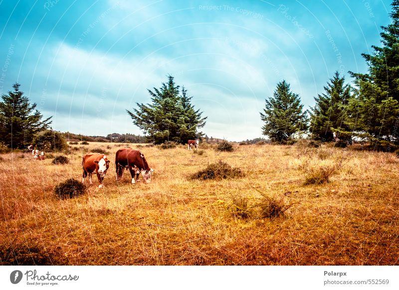 Hereford-Kühe Fleisch Sommer Umwelt Natur Landschaft Tier Himmel Wolken Gras Wiese Kuh Herde Fressen stehen braun grün Farbe USA amerika Rind Rindfleisch hier