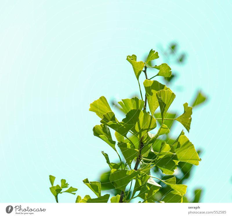 Ginkgo Pflanze grün Baum Gesundheitswesen Wachstum Blühend Ast Kräuter & Gewürze Wellness Tradition Baumkrone Botanik Alternativmedizin Trieb Asiate Blattgrün