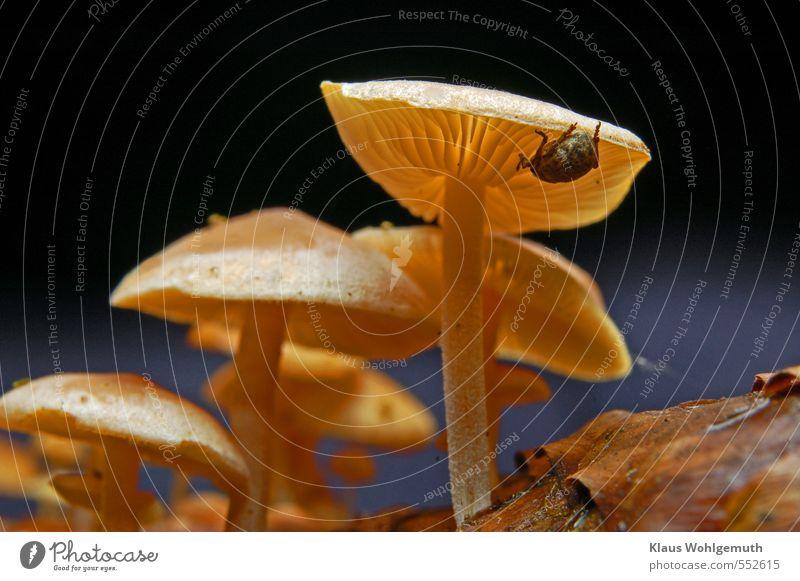 Kletterer blau Tier Wald gelb grau braun Pilz Käfer krabbeln Lamelle