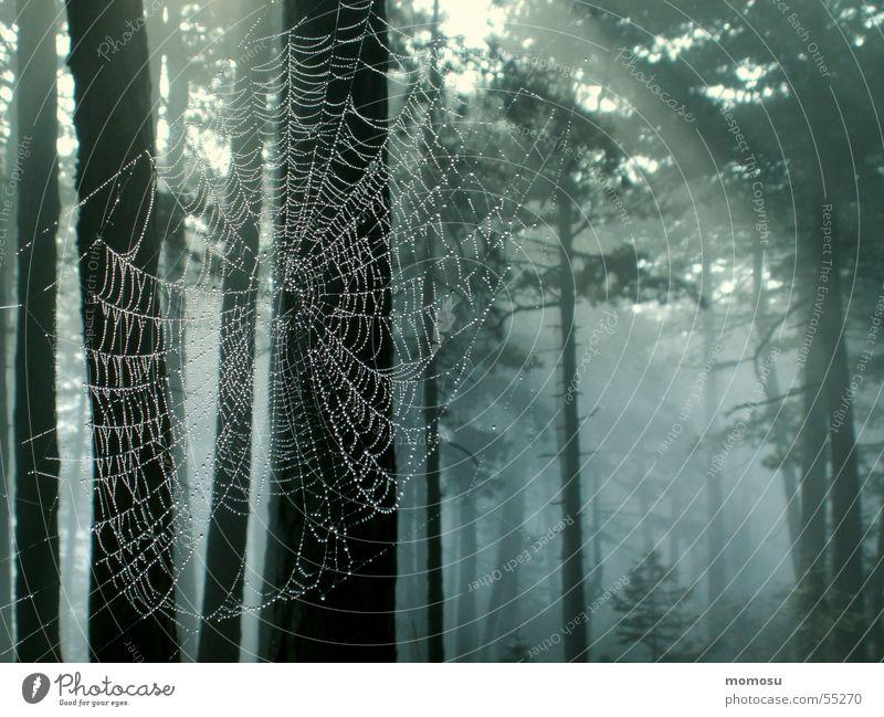 Spinnenwald Wald Baum Wald-Kiefer Spinnennetz Licht Nebel Herbst Vernetzung Lichterscheinung Seil
