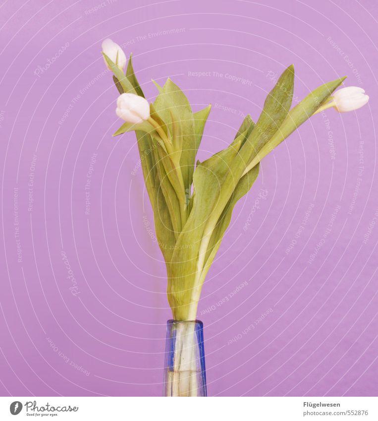 Tulipa Pflanze Blume Blatt Blüte leuchten stehen Blühend Rose Blumenstrauß Duft Geruch exotisch Tulpe Blumenwiese Grünpflanze Nutzpflanze