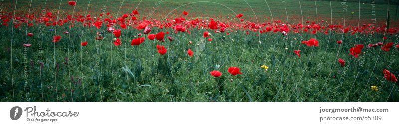 berauschend Blume rot ruhig Farbe Wiese Blüte Gras Landschaft groß Italien Mohn Panorama (Bildformat) Pflanze Abruzzen