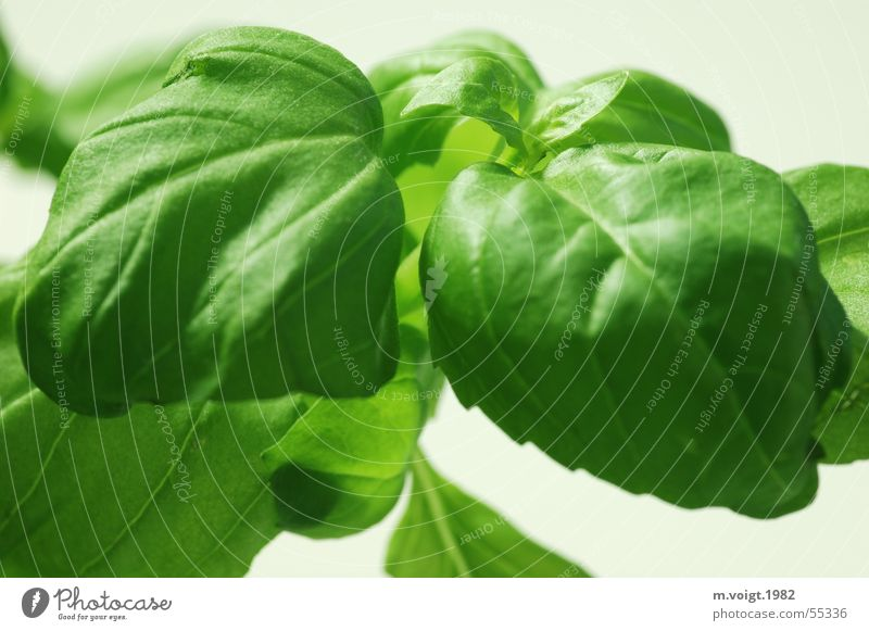 Basilikum grün Pflanze Blatt Gesundheit frisch Kochen & Garen & Backen Küche Kräuter & Gewürze lecker Vitamin Nutzpflanze Freisteller Beilage