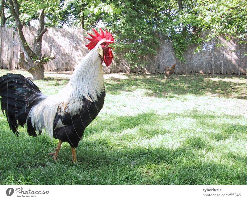 Vogelgrippe=Fremdwort weiß Baum Sonne grün rot schwarz Tier Wiese Gras Frühling Haushuhn Hahn