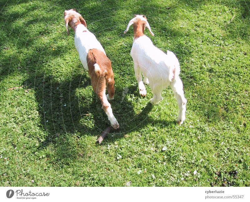 Ein guter Freund Zicklein Tier Wiese grün Frühling Sommer Ziegen braun Fell weich gehen Blume 2 Sonne hell Schatten Spaziergang laufen
