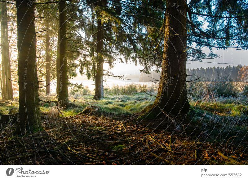 sonntag morgen Umwelt Natur Landschaft Sonnenaufgang Sonnenuntergang Sonnenlicht Herbst Klima Schönes Wetter Nebel Eis Frost Pflanze Baum Moos Fichtenwald Tanne
