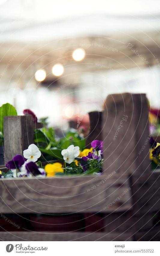 Geblümtes Umwelt Natur Pflanze Blume Stiefmütterchen Duft natürlich Blumenbeet Blumenkasten Farbfoto Außenaufnahme Nahaufnahme Menschenleer Tag
