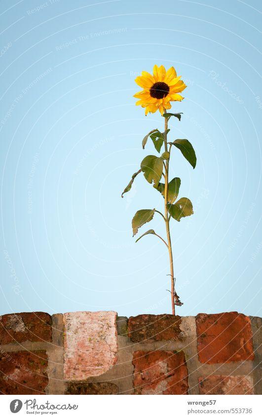 Mauerkieker Pflanze Wolkenloser Himmel Herbst Schönes Wetter Blume Sonnenblume Garten elegant schön blau braun mehrfarbig gelb grün Blüte einzeln vertikal