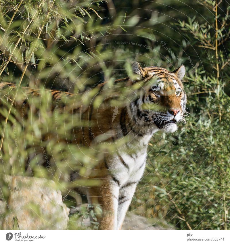 bedäch-tiger Pflanze Bambus Tier Wildtier Tiergesicht Zoo Tiger Raubkatze 1 beobachten Blick bedrohlich gefangen Tierschutz Hospitalisierung schön Stolz