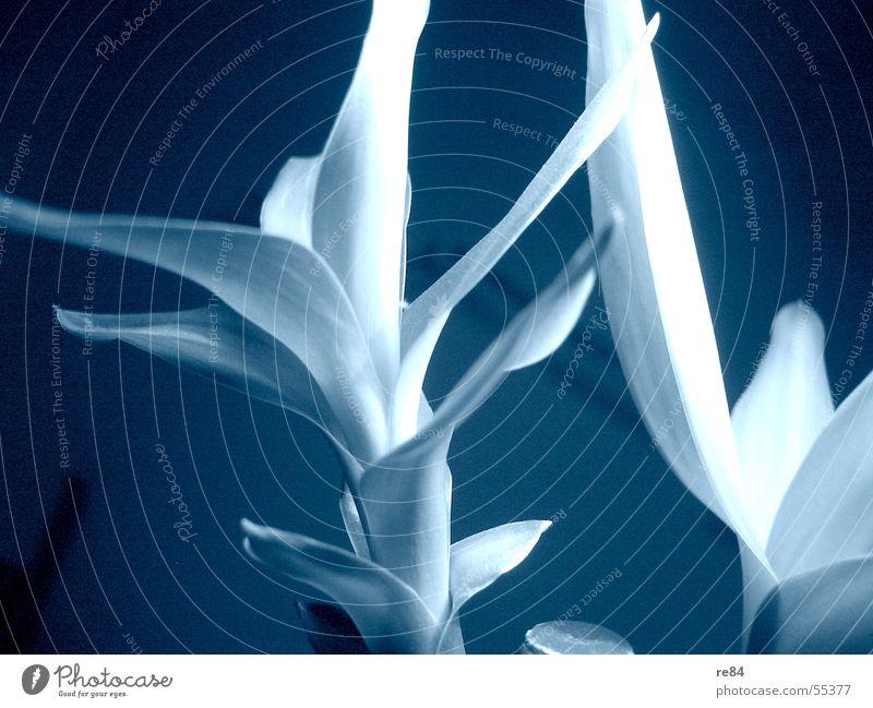 Flaua Paua weiß Blume grün blau Pflanze Eis hell Raum gefroren leicht grell Bambusrohr