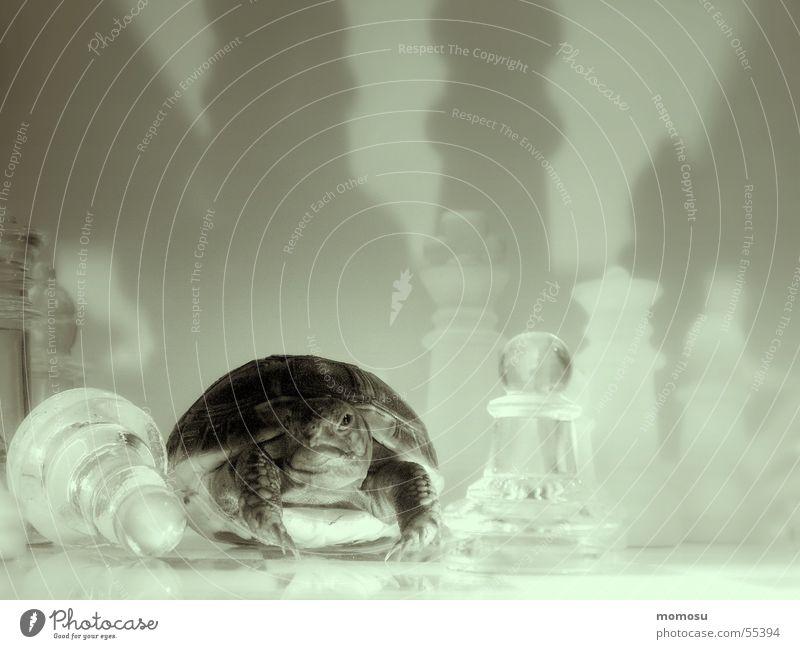 Spielverderber Schildkröte Spielen Licht Schachbrett Schatten Schachfigur