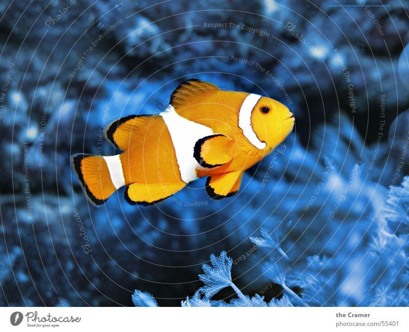 °°° Nemo °°° Findet Nemo Clownfisch Zoo Aquarium Physik kalt Tier Korallen Meer Fisch Kino Wasser orange blau Lampe Signal Wärme fish Clownfish water blue