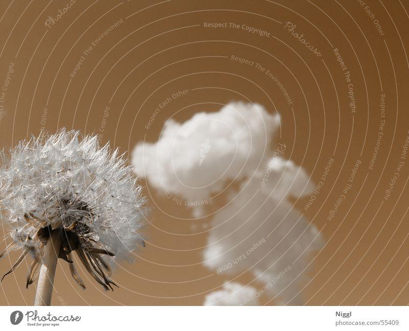 Great Gig In The Sky Natur Himmel Blume Pflanze Sommer Wolken braun Perspektive Löwenzahn verblüht getrocknet Duplex