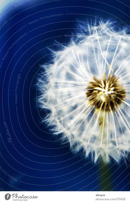 Puste Blau 2 Pflanze Blume Löwenzahn blasen Luft weiß Herbst Jahreszeiten Sommer Wind Natur blau