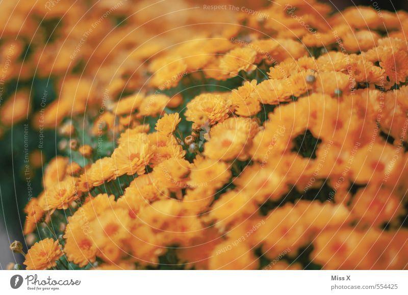 Chrysanthemen Garten Sommer Herbst Blume Blüte Blühend gelb orange Topfpflanze Gartenpflanzen Balkonpflanze Blütenblatt Blütenstauden Farbfoto Außenaufnahme