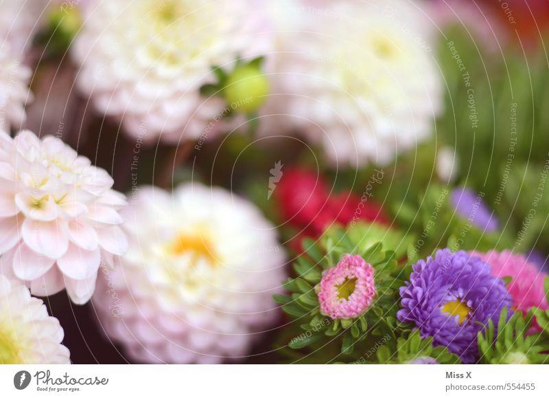 Dahlien Natur Pflanze Sommer Blume Herbst Blüte Garten rosa Blühend violett Blumenstrauß Duft Blütenstauden Blumenhändler Blumenladen