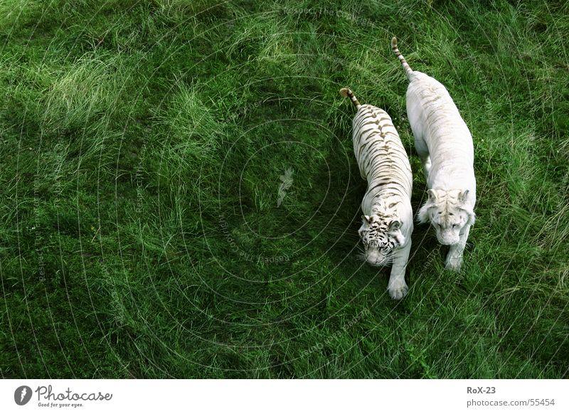 Wildes Pärchen Tiger Tier grün Gras weiß 2 live Natur Leben Wildtier withe Amerika paarweise Tierpaar