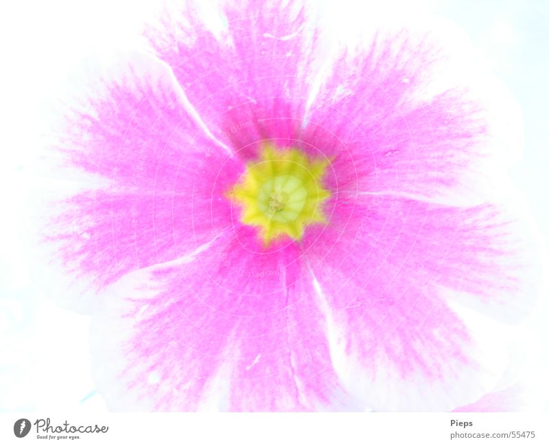 Primula Kissen-Primel Frühling Blüte rosa springen Pflanze Natur Makroaufnahme flower
