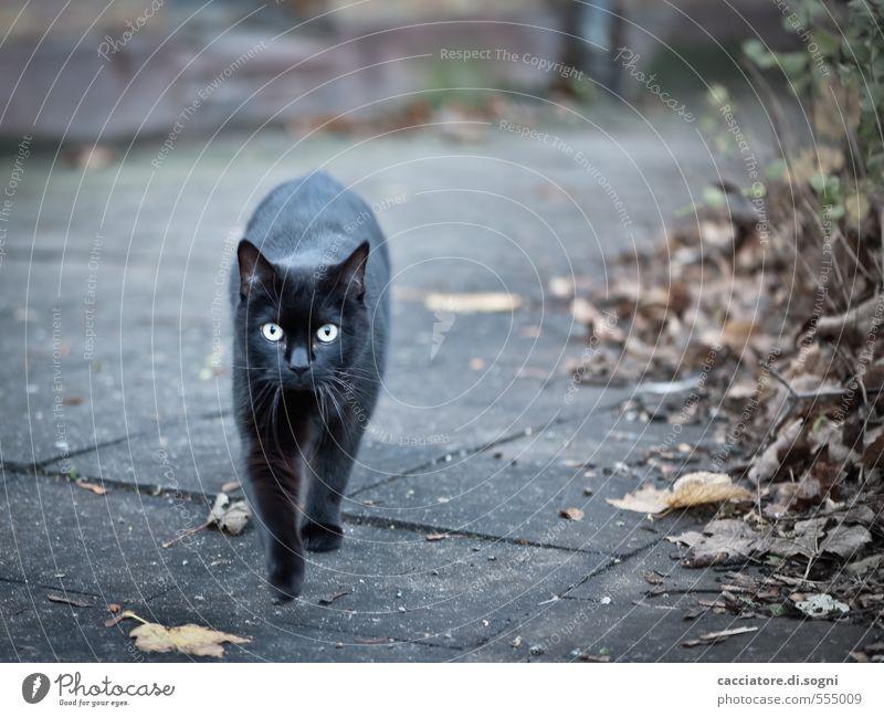 Geister-Katze Umwelt Herbst Schönes Wetter Straße Tier Haustier 1 bedrohlich dunkel gruselig grau schwarz Überraschung Entsetzen Abenteuer Angst bizarr